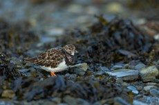 Ruddy turnstone Arenaria interpres, foraging in harbour, Aberystwyth, Dyfed, Wales, UK, December