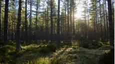 Caledonian pine forest, Cairngorms National Park, Scotland, February