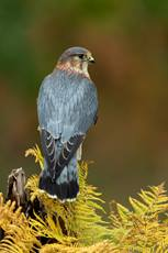 Merlin Falco columbarius, adult male perched on post, captive, Hawk Conservancy Trust, Hampshire, November