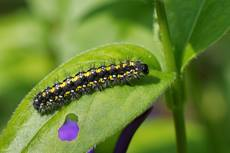 Scarlet tiger moth Callimorpha dominula, caterpillar on a Greater periwinkle Vinca major, leaf, Wiltshire, April