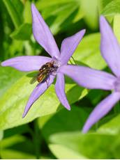 Duck-billed hoverfly Rhingia campestris, adult nectaring on a Greater periwinkle Vinca major, flower, Wiltshire, April