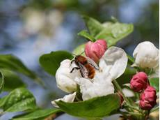 Tawny mining bee Andrena fulva, adult on a Crab apple Malus sylvestris, flower, Wiltshire, April