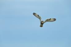 Short-eared owl Asio flammeus, adult in flight, Marlborough Downs, Wiltshire, November