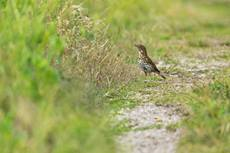 Song thrush Turdus philomelos, ringed adult bird on a track, Slapton Ley, Devon, June