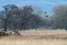 Western marsh harrier Circus aeruginosus, adult male in flight over reedbed, Ham Wall RSPB Reserve, Somerset, February