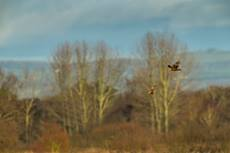 Western marsh harrier Circus aeruginosus, adult male and female in flight over reedbed, Ham Wall RSPB Reserve, Somerset, February