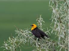 Yellow-headed blackbird Xanthocephalus xanthocephalus, male singing from Russian olive Elaeagnus angustifolia, Broadview, Montana, USA, June