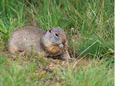 Uinta ground squirrel Spermophilus armatus, feeding amongst grassland, Lamar Valley, Yellowstone National Park, Wyoming, USA, June