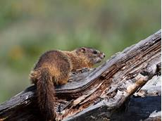 Yellow-bellied marmot Marmota flaviventris, adult on a fallen log, Pilgrims Creek, Grand Teton National Park, Wyoming, USA, June