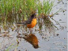 American robin Turdus migratorius, male in a pool beside the Snake River, Grand Teton National Park, Wyoming, USA, June