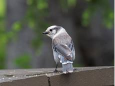 Gray jay Perisoreus canadensis, adult on a picnic table, Leigh Lake Trailhead, Grand Teton National Park, Wyoming, USA, June