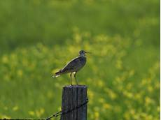 Upland sandpiper Bartramia longicauda, perched on a fence post near Belle Fourche Reservoir, South Dakota, USA, June