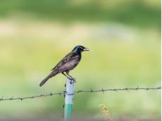 Common grackle Quiscalus quiscula, perched on metal fence post with food for young, Limon Wetlands Preserve, Limon, Colorado, USA, July