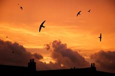 Common swift Apus apus, group in flight over rooftops at sunset, composite image, Bedfordshire, England, UK, July