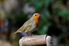 European robin Erithacus rubecula, perched on a garden tool handle, October, Hertfordshire