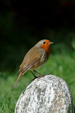 European robin Erithacus rubecula, perched on a black and white rock, October, Hertfordshire