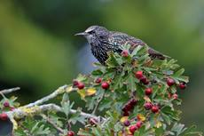 Starling Sturnus vulgaris, perched on a tree branch in autumn plumage, November, Hertfordshire