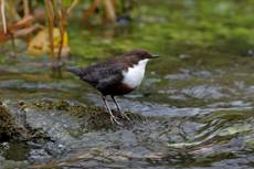 White-throated dipper Cinclus cinclus gularis, perched on a rock in a fast flowing river, Peak District, Derbyshire, England, UK, April