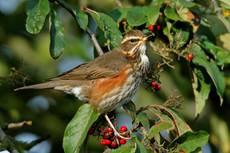 Redwing Turdus iliacus, bird in winter plumage feeding in a berry bush, Whipsnade, Bedfordshire, England, UK, December
