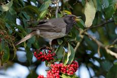 Black throated Thrush Turdus atrogularis, rare vagrant to the UK (found in Siberia, Mongolia and Thailand), feeding on berries, Whipsnade Bedfordshire, England, UK, December