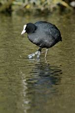 Common coot Fulica atra, wading through water, January, Hertfordshire