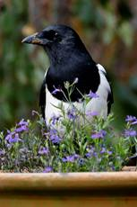 Magpie Pica pica, standing amongst flowers in a garden plant pot, October, Hertfordshire