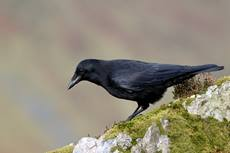 Carrion crow Corvus corone, searching for food on a rocky hillside, Wales, UK, October