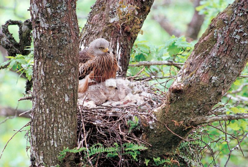 Red kite, adult at nest with chicks, in oak ...