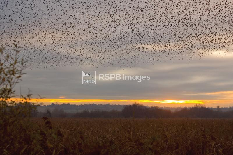 Starlings Sturnus vulgaris, gathering above reed bed at Ham Wall RSPB reser ...