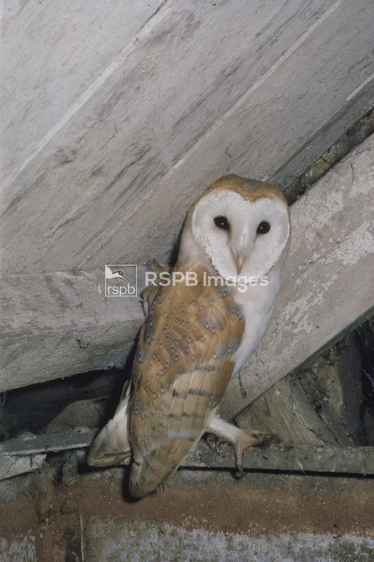 Barn owl perched on a beam in a barn ...