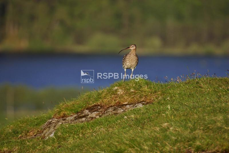 Curlew Numenius arquata standing on hill in front of lake ...