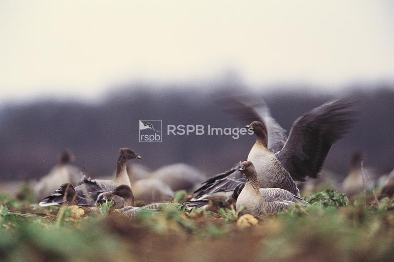 Pink-footed goose Anser brachyrhynchus, flock at rest in remains of harvest ...