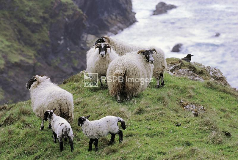 Sheep grazing on cliffs, Upper Killeyan RSPB reserve, Mull of Oa, Islay, Ma ...