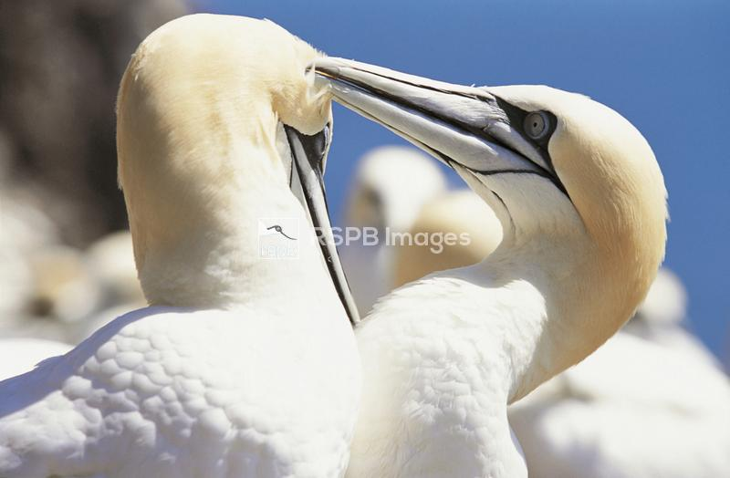 Gannet Morus bassana, pair preening, Bass Rock, June 2001 ...