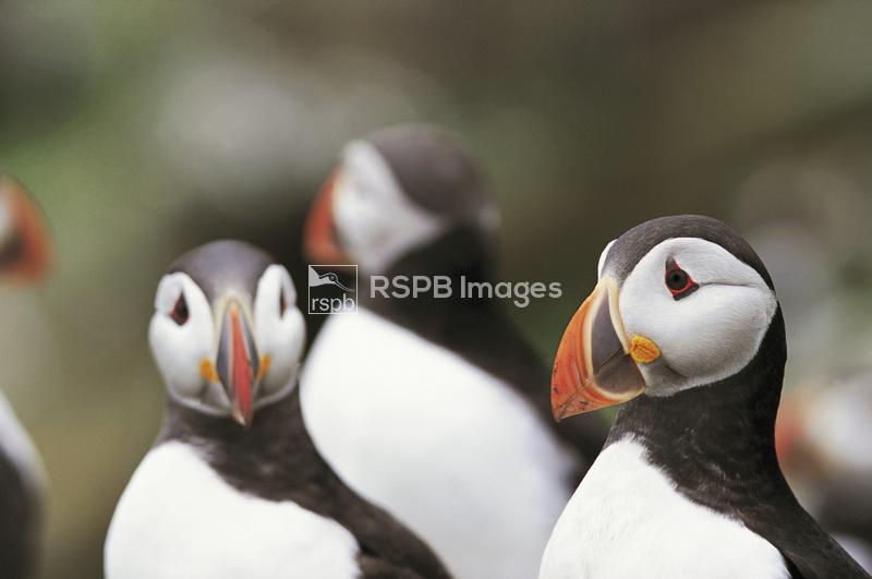 Puffin Fratercula arctica, group, Isle of May National Nature reserve, June ...
