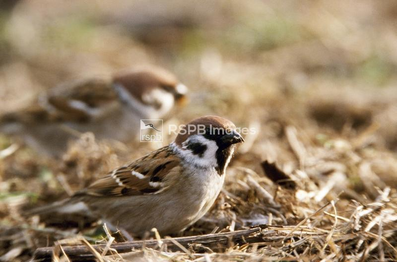 Tree sparrow Passer montanus, February ...