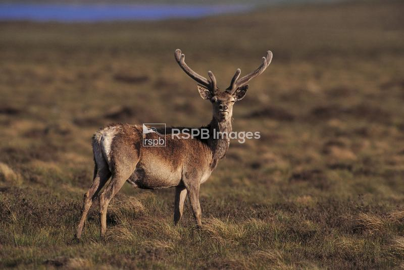 Red deer, side view on short grass and heather. ...