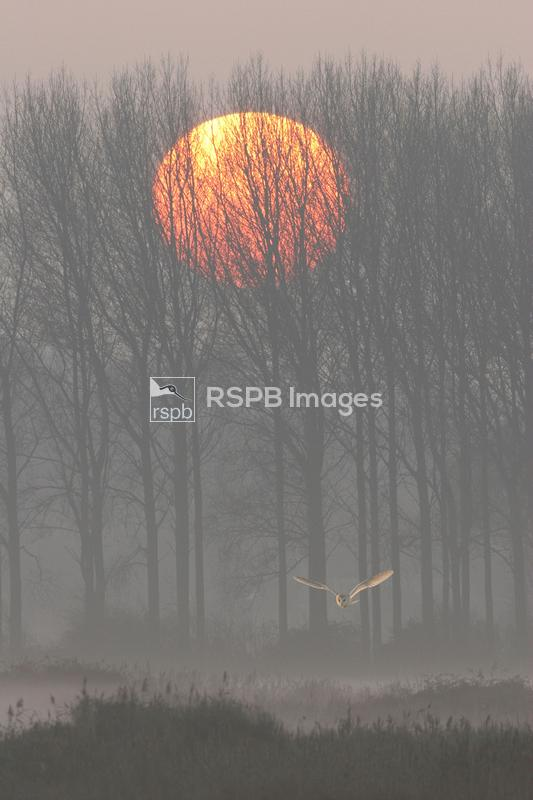 Barn owl Tyto alba hunting at sunset over Thornham/Titchwell marshes as vie ...