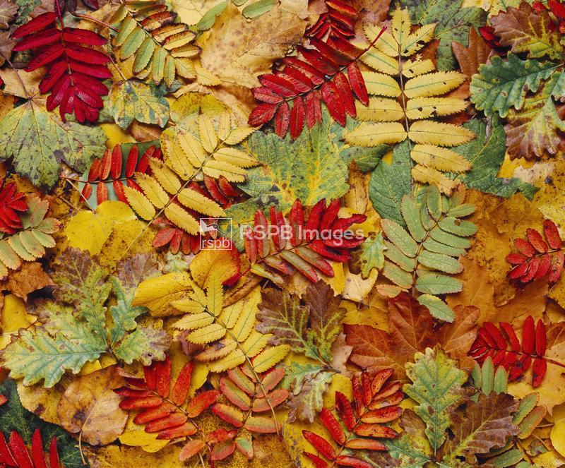 Plan view of assorted autumn leaves (rowan, oak, sycamore). October 2005. ...