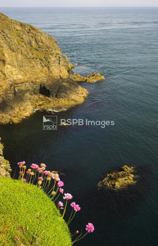 Thrift growing on cliff edge, Ramsey Island RSPB reserve, Wales ...