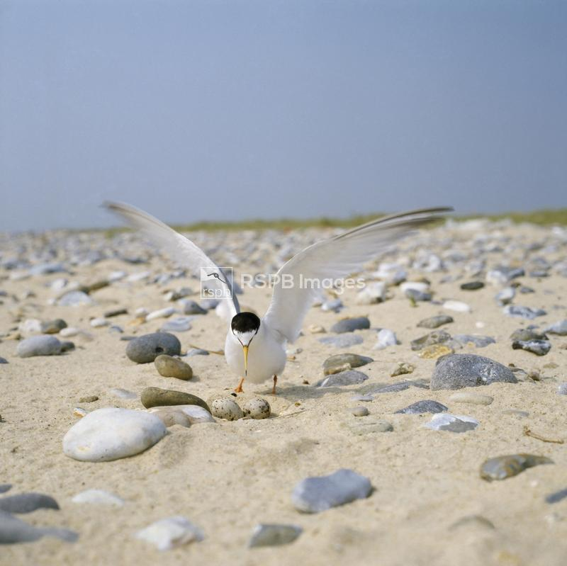 Little tern at nest, wing stretching after incubating. ...