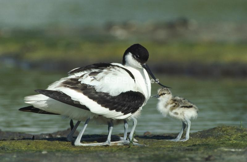 Avocet kneeling allowing chicks to find shelter under wing. ...
