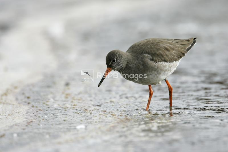 Redshank, Tringa totanus, Brownsea Island Dorset Wildlife Trust reserve. Do ...