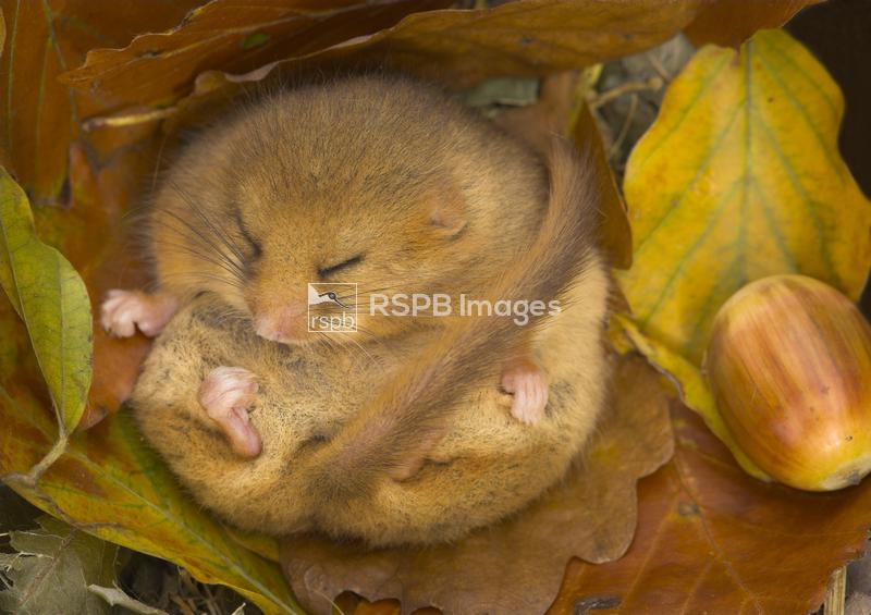 Dormouse Hazel, Muscardinus avellanarius, Hibernating in Autumn. Images tak ...