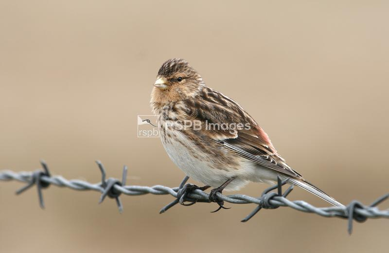 Twite (Carduelis cannabina), Balranald nature reserve, Noth Uist, Scotland ...