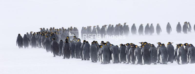 King Penguins Aptenodytes patagonicus huddled together during storm Right W ...
