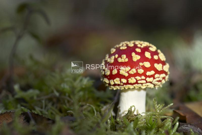 Fly agaric, Amanita muscaria, illuminated by sun in woodland, Kent. October ...