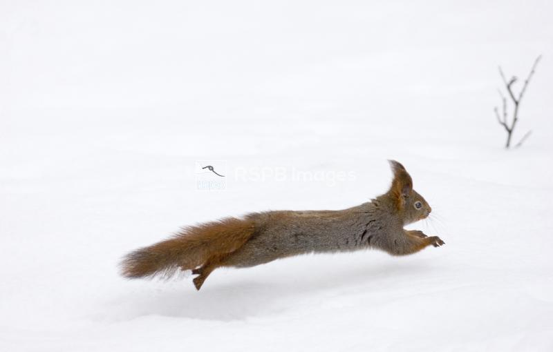 Red Squirrel Sciurus vulgaris running across snow Finland winter ...
