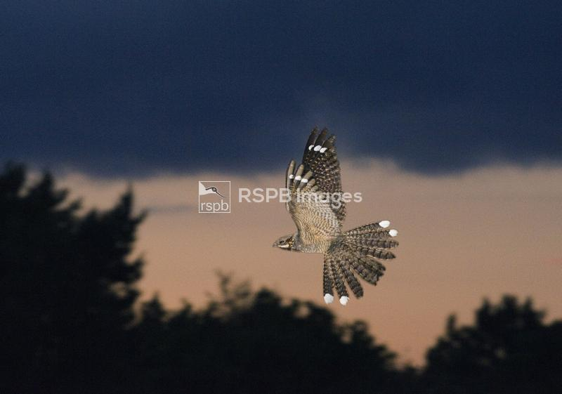 Nightjar Caprimulgus europaeus male in display flight North Norfolk June ...