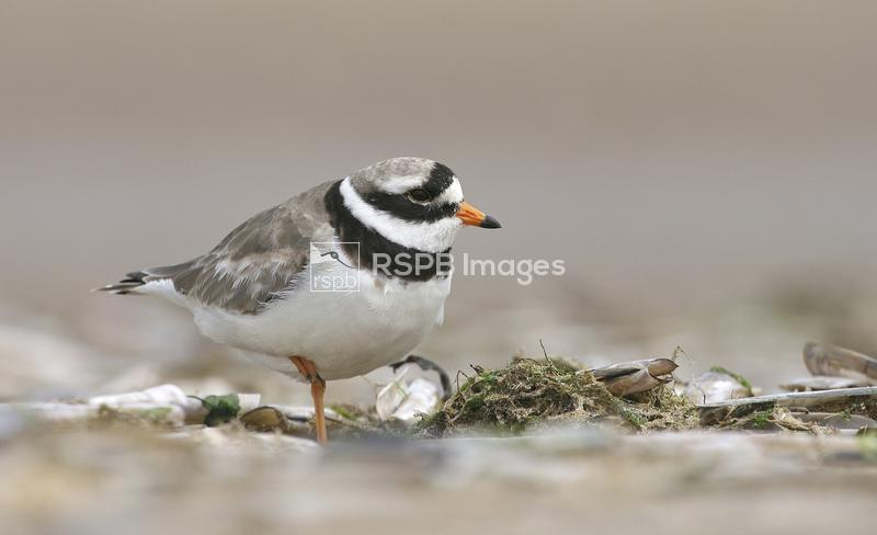 Ringed plover charadrius hiaticula, adult amongst razorshells. Side view. T ...